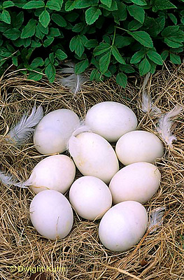 DG11-003x  Pekin Duck - nest with unhatched eggs