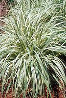 Molina caerulea 'Variegata'  (Variegated Moor Grass), a clumping, neat ornamental grass
