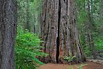 South grove of Calaveras Big Trees State Park