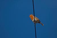 Robin bird, Erithacus rubecula, tweeting on wire at Woolacombe, North Devon, UK