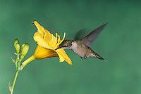 Female Ruby Throated Hummingbird (Archilochus coluloris) in flight.
