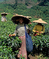 Tea Plantation in central Java, Indonesia, workers picking tea leaves.