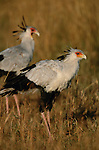 Secretary Bird, Mara River region, Kenya