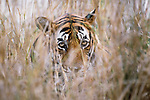 Close-up of tiger in tall grass, Ranthambhore National Park, India