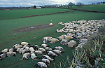 Culled sheep from a contiguous foot and mouth  cull - Chulmleigh Devon.