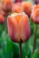Tulipa 'Cairo'