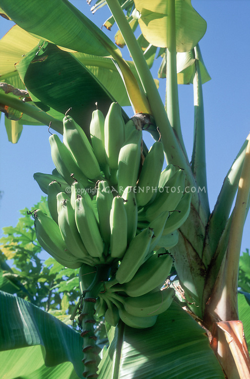 Banana, probably Musa 'Orinoco', green bananas not yet ripe, growing on banana tree, against blue sky
