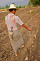 Barefoot, a farmer walks the furrows strewing granulated fertilizer after the sugarcanes. Modern agricolture techniques have yet to land in Burma.