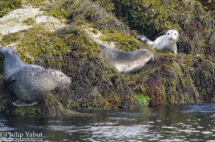 A cute little harbor seal pup (Phoca vitulina) catches the attention of two of his older compatriots.