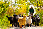 May 1, 2012 - Merrick, New York, USA - Nigerian Dwarf Goats walk with Park Ranger during sunny spring day at Levy Park and Preserve, marshland on the south shore of Long Island, New York. Due to unusually warm weather, this was the first day of the year the park stayed open until 19:30 (7:30 PM), which usually doesn't happen until later in season.