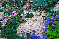 Tufa is a chemical sedimentary rock made of calcium carbonate, formed by running water passing over limestone. It is a porous rock that is perfect for many cliff clinging and crevice dwelling plants that are often found in alpine environments at higher altitudes.