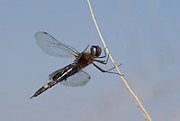 388520008 a wild female black saddlebags dragonfly tramea lacerata perches on a branch in yuma county arizona