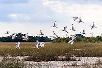 US, Florida, Everglades, Shark Valley. A flock of White Ibis.