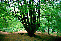 Beech trees on Hampstead Heath, London, England