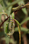 Monarch Caterpillars, Danaus plexippus, Southern California