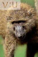 Portrait of an Olive Baboon ,Papio anubis, Lake Nakuru National Park, Kenya