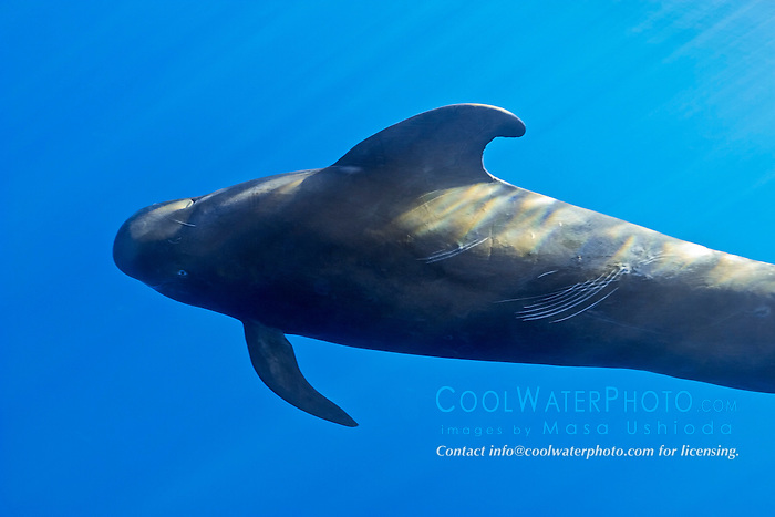 short-finned pilot whale, Globicephala macrorhynchus, large bull with rake marks and battle scars, Kona Coast, Big Island, Hawaii, USA, Pacific Ocean