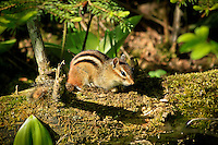 &quot;Eastern Chipmunk&quot;<br />