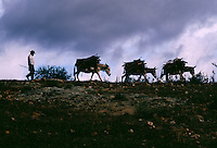 A worker follows his donkeys loaded with fire wood to a mescal factory. Rural Oaxaca is where 80% of the mescal made in Mexico. They bury Maguey with dirt in an oven with hot rocks for 36-48 hours. The burned plant is milled with a horse pulling a heavy stone. It is fermented 8-10 days and the manager plays classical music to help the process. It is distilled twice to be about 70% alcohol and stored for 3-6 months.