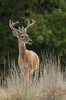 Eight Point Buck