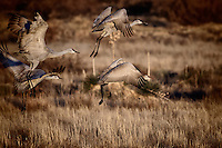 Four Sandhill Cranes taking off in sync from the Chupadera Pond at Bosque del Apache National Wildlife Refuge.