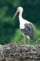 Grein, Danube, Upper Austria, June 2010. A stork on his nest. The 450 kilometre long Donausteig hiking trail roughly follows the Danube on both sides of the river between Passau in Germany and Grein in Austria. Photo by Frits Meyst/Adventure4ever.com