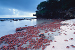 Christmas Island Crabs