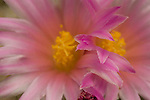 Two pink cactus flowers growing in close contact with petals touching