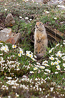 Ground squirrel and mountain aven wildflowers, Utukok uplands, National Petroleum Reserve Alaska, Arctic, Alaska.