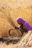 Barley crop being harvested by local agricultural worker in fields at Nimaj, Rajasthan, Northern India