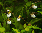 Mountain Lady's Slipper (Cypripedium montanuum) blooming in the early summer