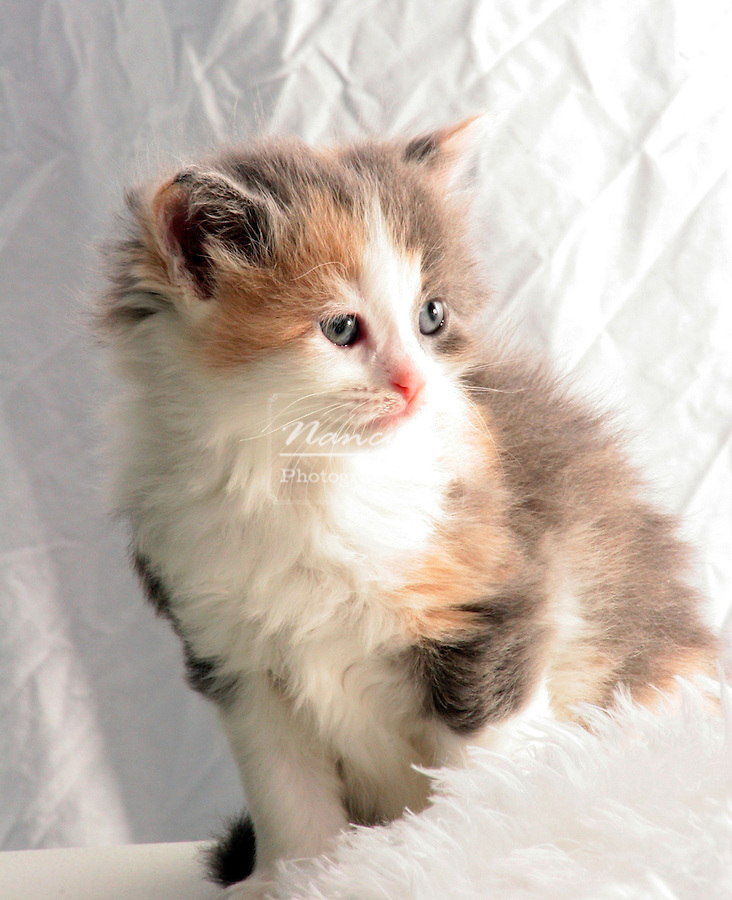A multi colored long hair calico kitten