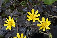 Ranunculus Brazen Hussy in spring bloom with yellow flowers and dark purple black foliage leaves