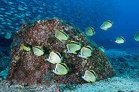 QT0679-D. Barberfish (Johnrandallia nigrirostris), an aggregation of common cleaner fish at a cleaning station. Baja, Mexico, Pacific Ocean.<br /> Photo Copyright &copy; Brandon Cole. All rights reserved worldwide.  www.brandoncole.com