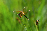 362700046 a wild immature male band-winged meadowhawk sympetrum semicintum perches on a wild grass stem near a bog pond in central modoc county california