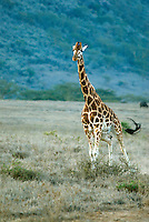 A running Rothschild giraffe in the Lake Nakuru National Park. Lake Nakuru National Park is the only park in Kenya where you can see the endangered giraffe subspecies. There are only a few hundred remaining in the wild, but it is one of the most common at zoos around the world through captive breeding programs..