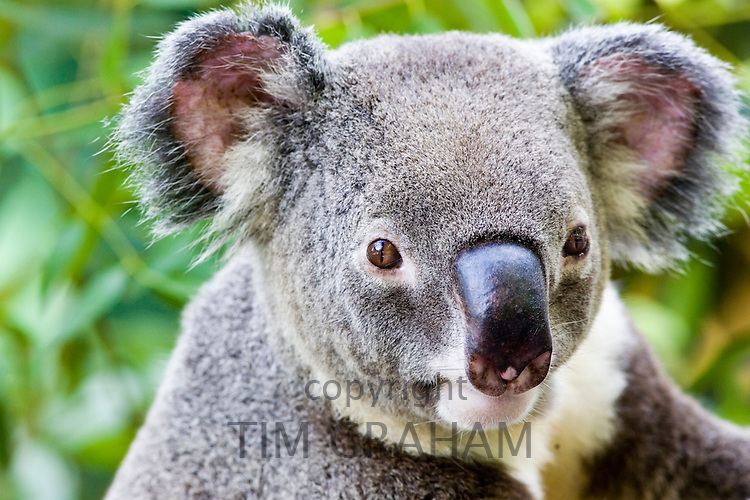 Koala, Queensland, Australia