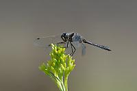 362690018 a wild male black meadowhawk sympetrum danae perches on a plant stem in mono county california