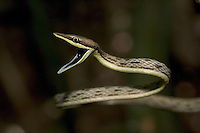 The profile of a coiled brown vine snake preparing to strike.
