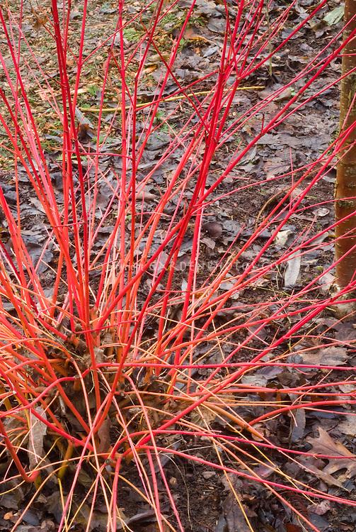 Cornus sanguinea Anny's Winter Orange in orange red winter stems