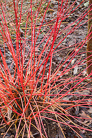 Cornus sanguinea Anny's Winter Orange in orange red winter stems