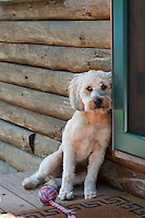 Terrier puppy leaning against a house and door