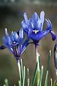 Iris reticulata 'Pauline', late February.