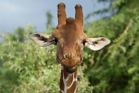 The Reticulated, giraffe found only in Northern Kenya, is a beautiful spicies of the world's tallest mammal. Its strong chestnut pattern distinguishes it from the jagged pattern of the Masai giraffe.