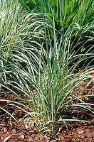 Carex riparia 'Variegata' Greater Pond Sedge Grass