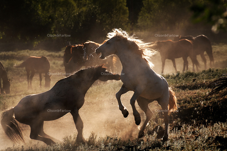 The roan stallion fights with Phantom, a white stallion new to the herd. The two  test each other to see who is dominant in the mustang hierarchy.<br /> <br /> Dianne Nelson has saved mustangs on a ranch in northern California at the Wild Horse Sanctuary.  &quot;It was in 1978 that the Wild Horse Sanctuary founders rounded up almost 300 wild horses for the Forest Service in Modoc County, California. Of those 300, 80 were found to be un-adoptable and were scheduled to be destroyed at a government holding facility near Tule Lake, California. <br /> The Sanctuary is located near Shingletown, California on 5,000 acres of lush lava rock-strewn mountain meadow and forest land. Black Butte is to the west and towering Mt. Lassen is to the east.<br /> Their goals:Increase public awareness of the genetic, biological, and social value of America's wild horses through pack trips on the sanctuary, publications, mass media, and public outreach programs<br /> Continue to develop a working, replicable model for the proper and responsible management of wild horses in their natural habitat..Demonstrate that wild horses can co-exist on the open range in ecological balance with many diverse species of wildlife, including black bear, bobcat, mountain lion, wild turkeys, badger, and gray fox.<br /> Collaborate with research projects in order to document the intricate and unique social structure, biology, reversible fertility control, and native intelligence of the wild horse.