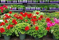Annual flower selection at a garden center.