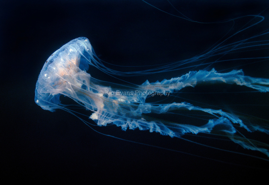 Sea Nettle Jellyfish showing clear bell and tentacles.