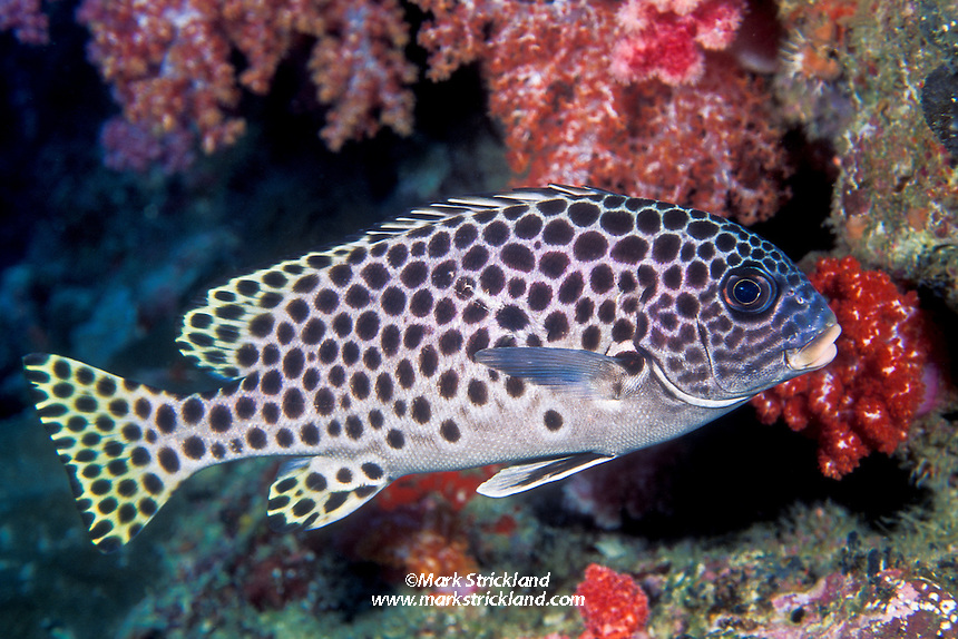 The conspicuously patterned Andaman Sweetlips, Plectorhinchus macrospilus, is endemic to the Andaman Sea, and therefore a signature fish of the region. A shy species, it is usually found in or near crevices and overhangs. Andaman Sea