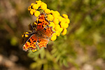 Satyr Comma butterfly on the common Tansy plant